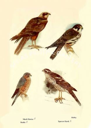 Marsh Harrier, Merlin, Sparrow Hawk & Hobby